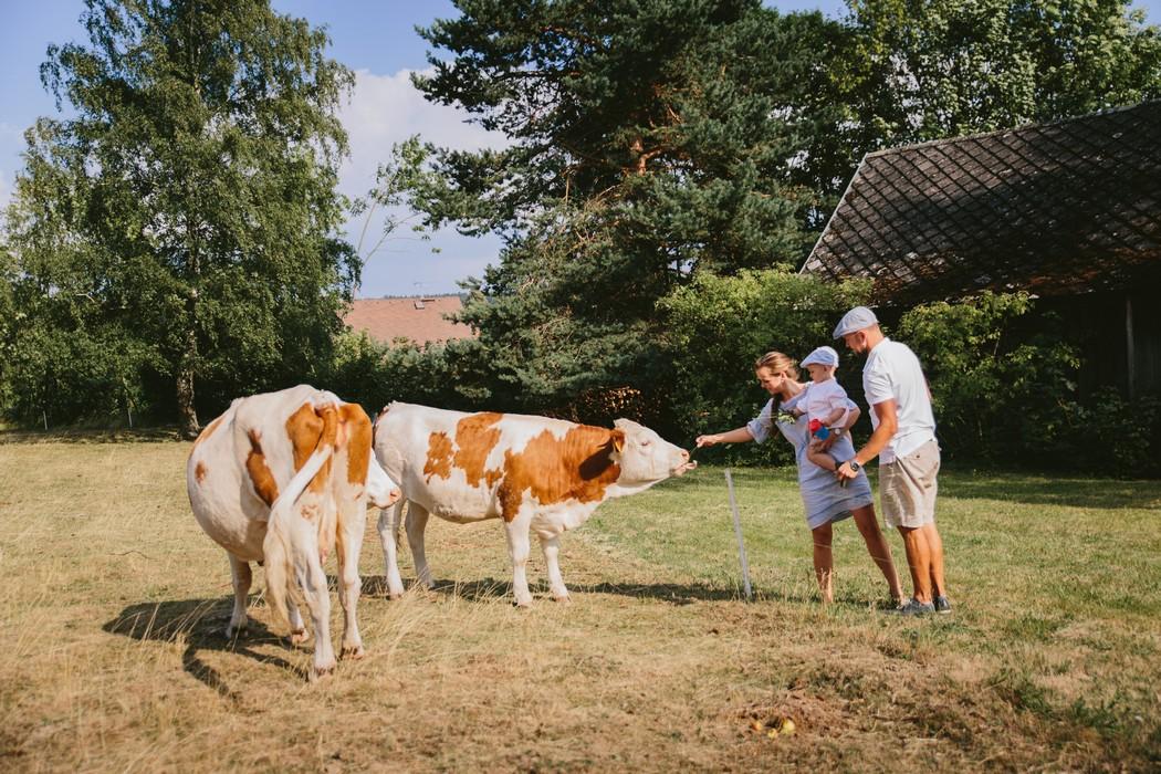 rodinka krmí krávu