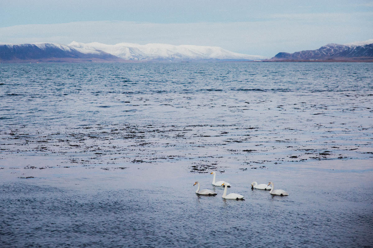 icelandic ocean with swans
