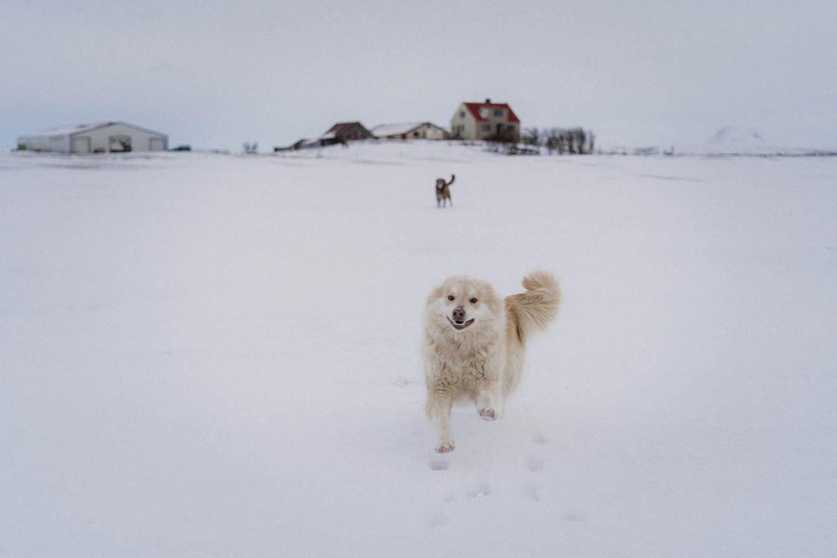 islandský pes běžící v krajině